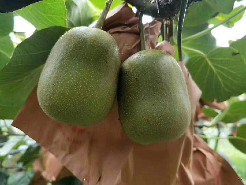 红心猕猴桃果园产地直发 微商猕猴桃一手货源