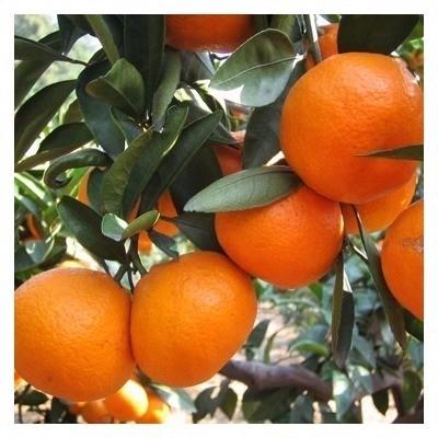 爱媛柑橘 爱媛微商货源  一件代发