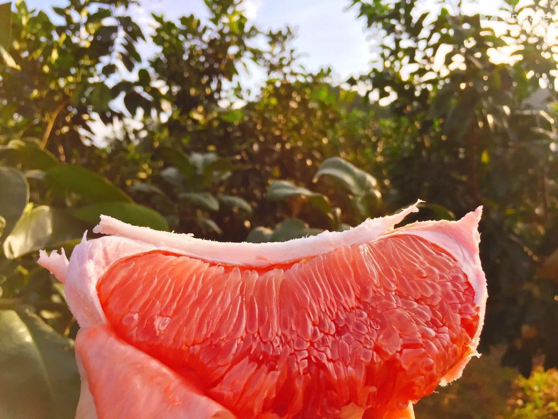 蜜蜂圈 严格精选红肉蜜柚一件代发